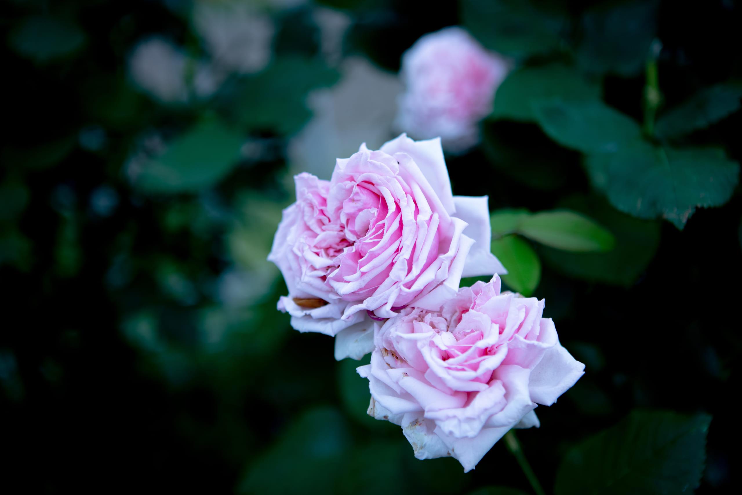 服部緑地のバラ