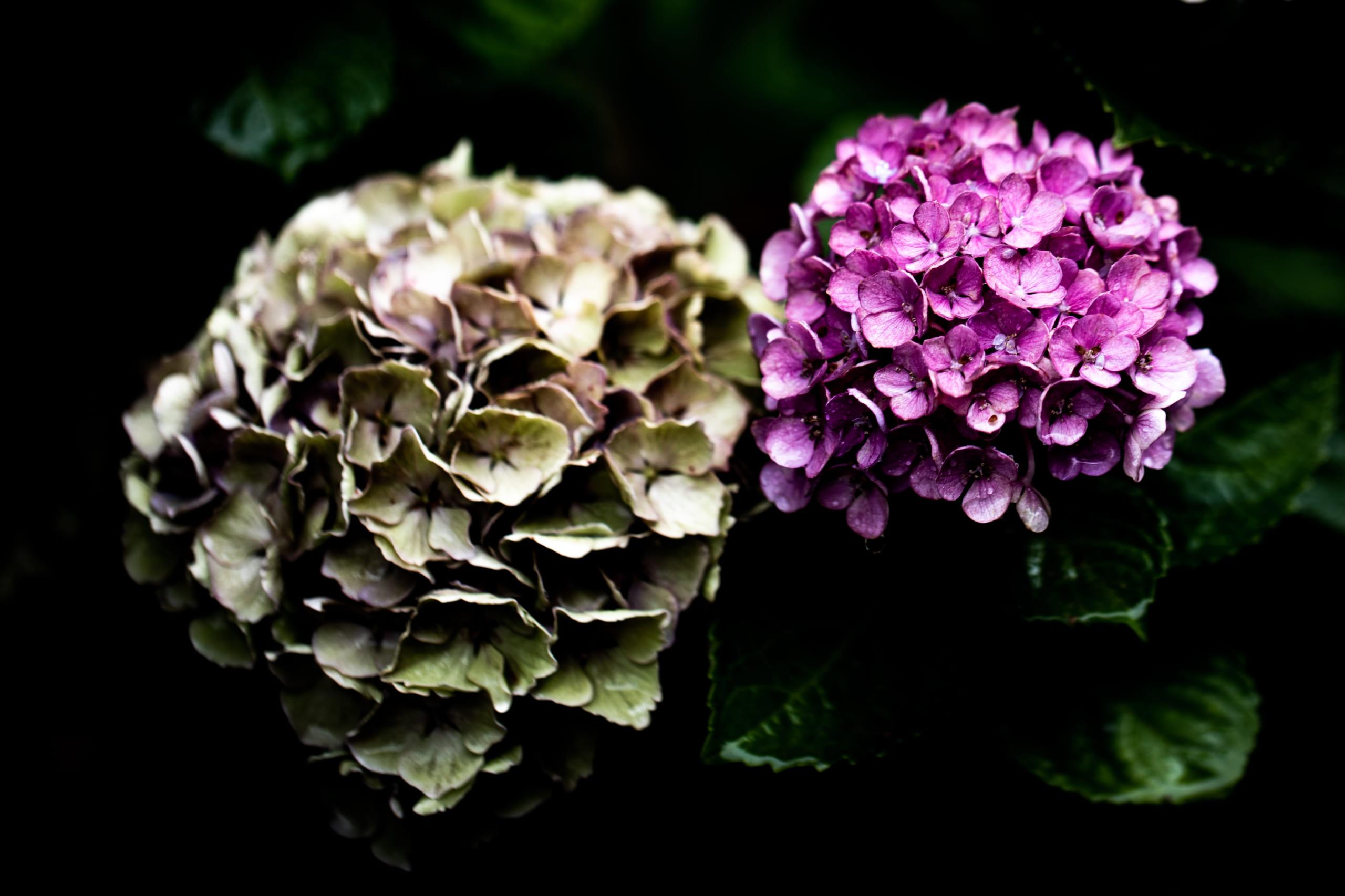 2020梅雨の草花 – 紫陽花等
